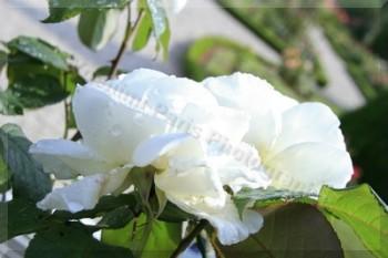 "Roseraie du Jardin de Bagatelle - 27-06-2014 Rose ""Jeanne Moreau"""