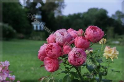 """Roseraie du Jardin de Bagatelle  Rose """"Pomponella"""""""